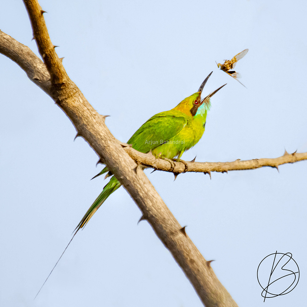 Green Bee-Eater with kill