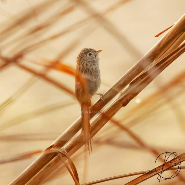 Rufous-Vented Grass Babbler