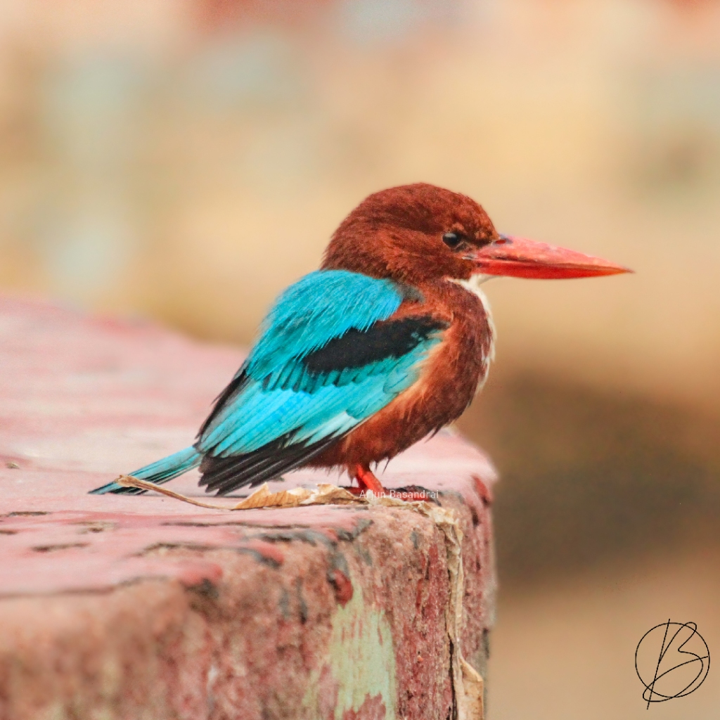 White-Breasted Kingfisher