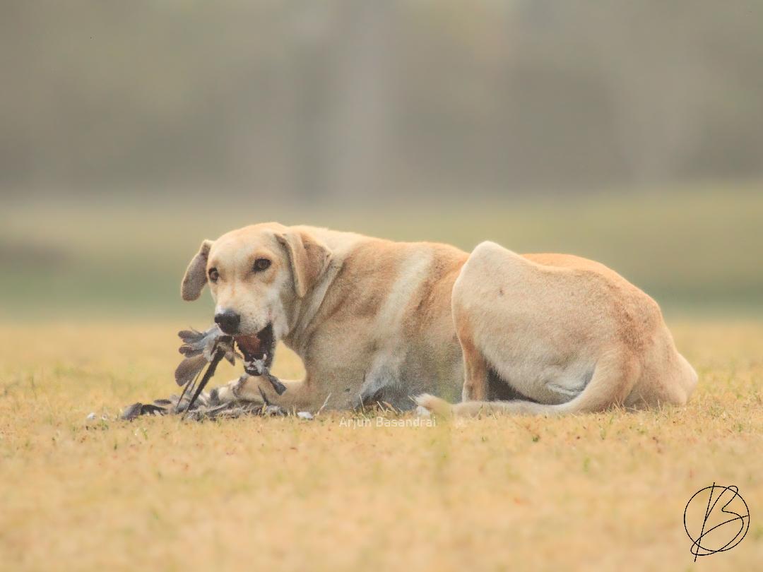 Stray dog eating bird