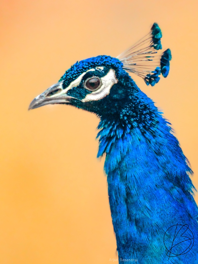 Indian Peafowl male
