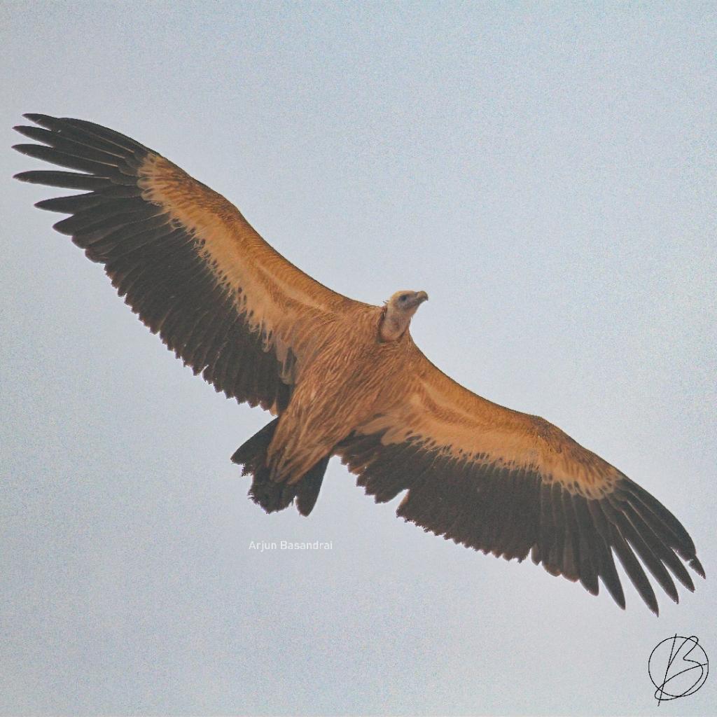 Eurasian Griffon Vulture in flight from below