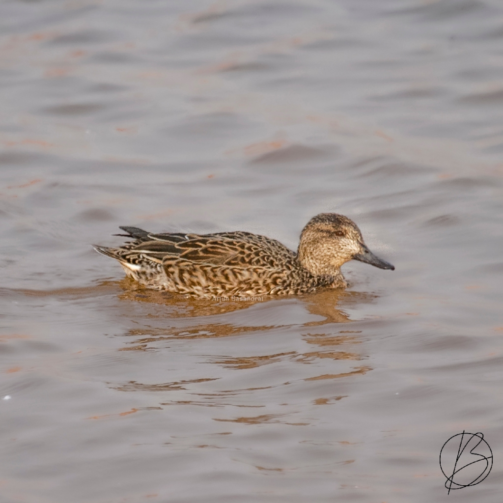 Common Teal female at Khichan