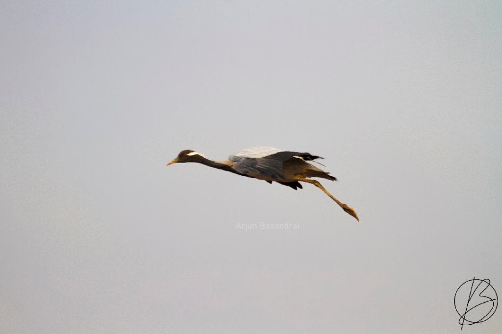 Demoiselle Crane adult in flight