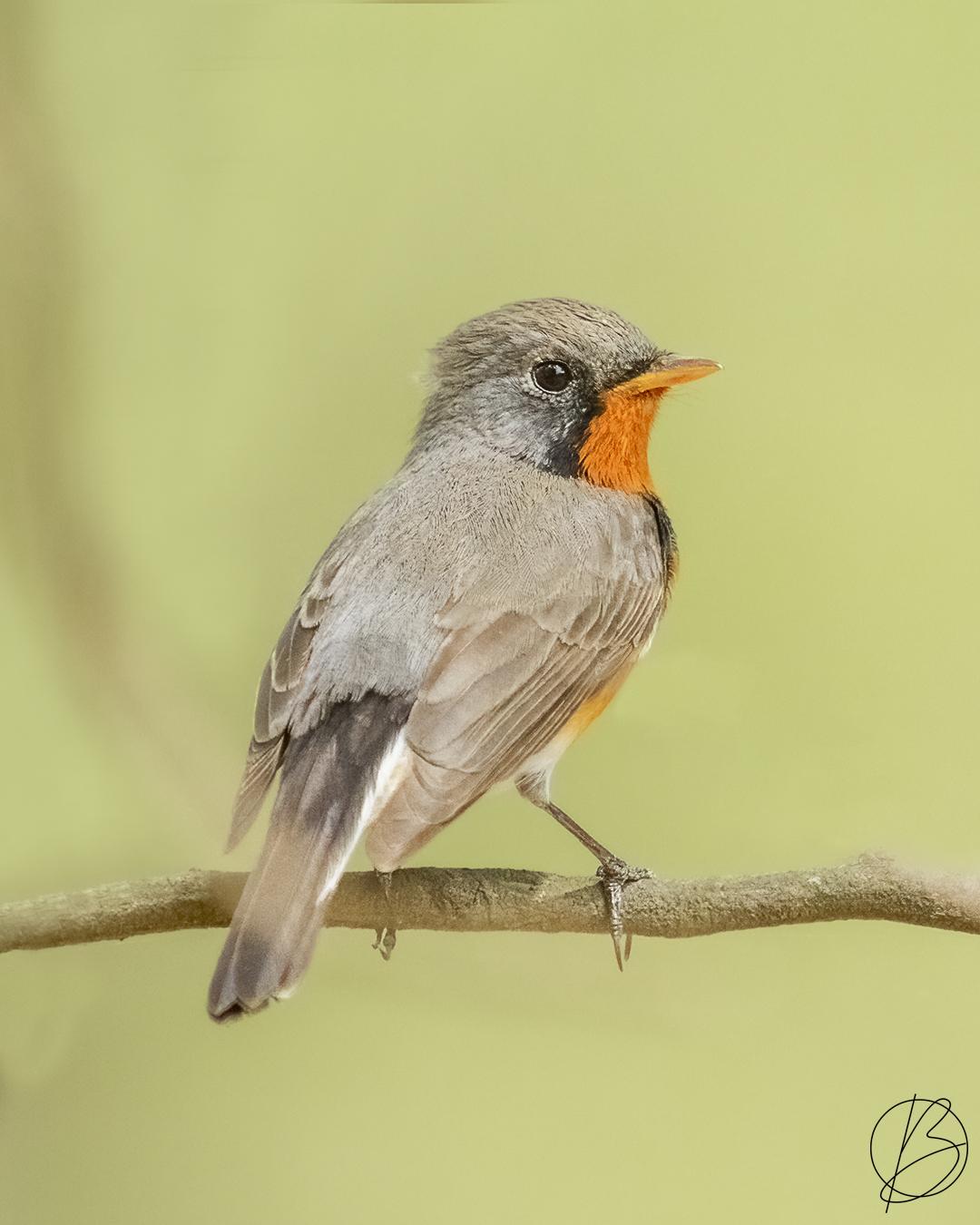 Kashmir Flycatcher male