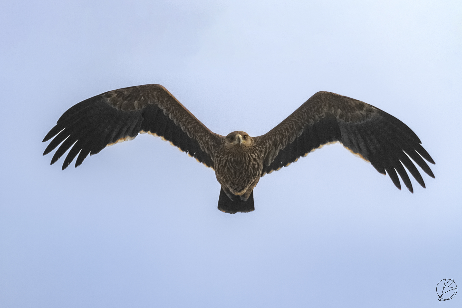 Eastern Imperial Eagle immature in flight