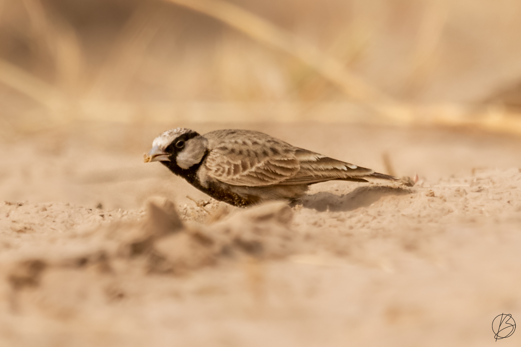 Ashy-Crowned Sparrow Lark male