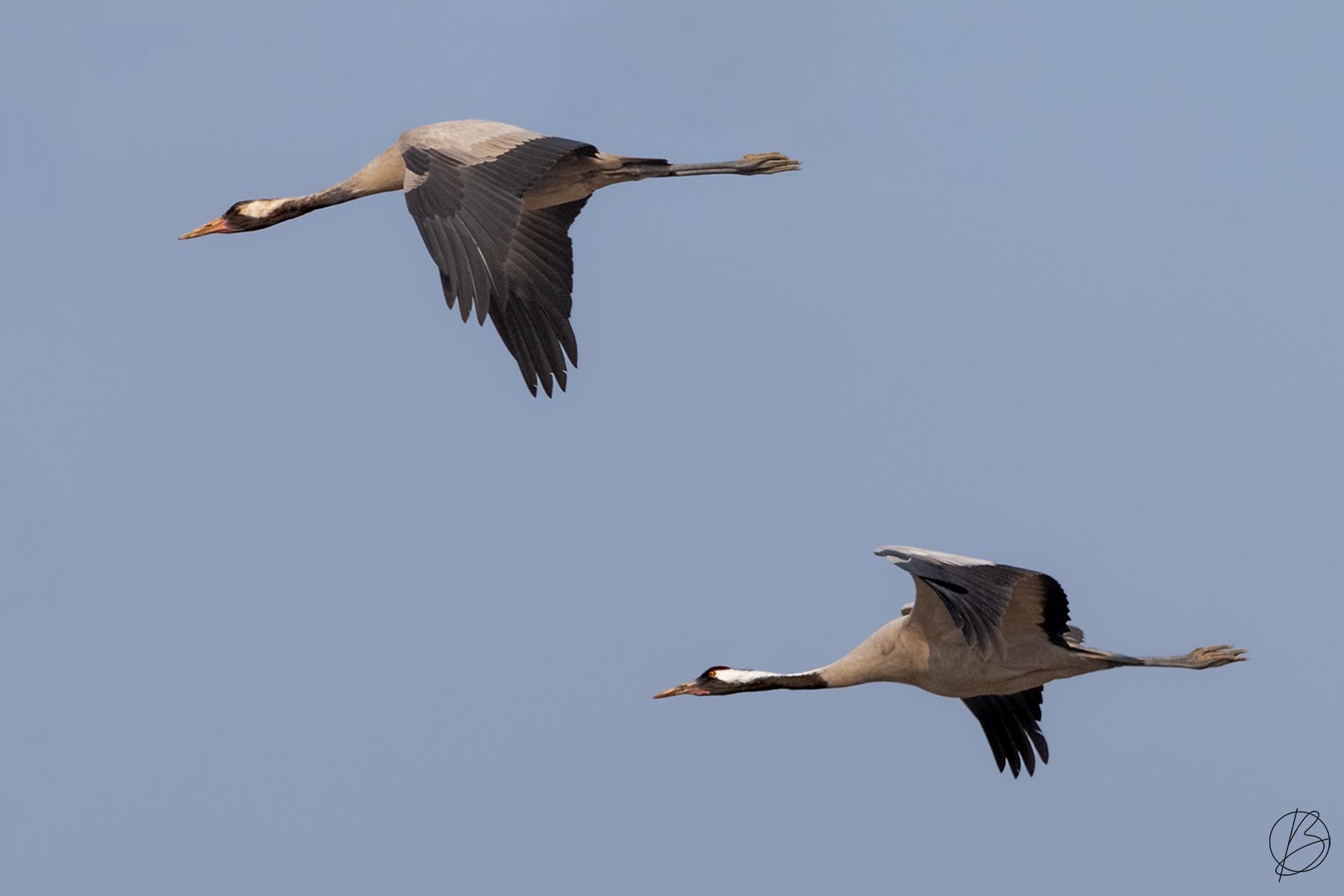 Common Crane pair in flight