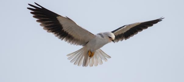 Black-Winged Kite hovering
