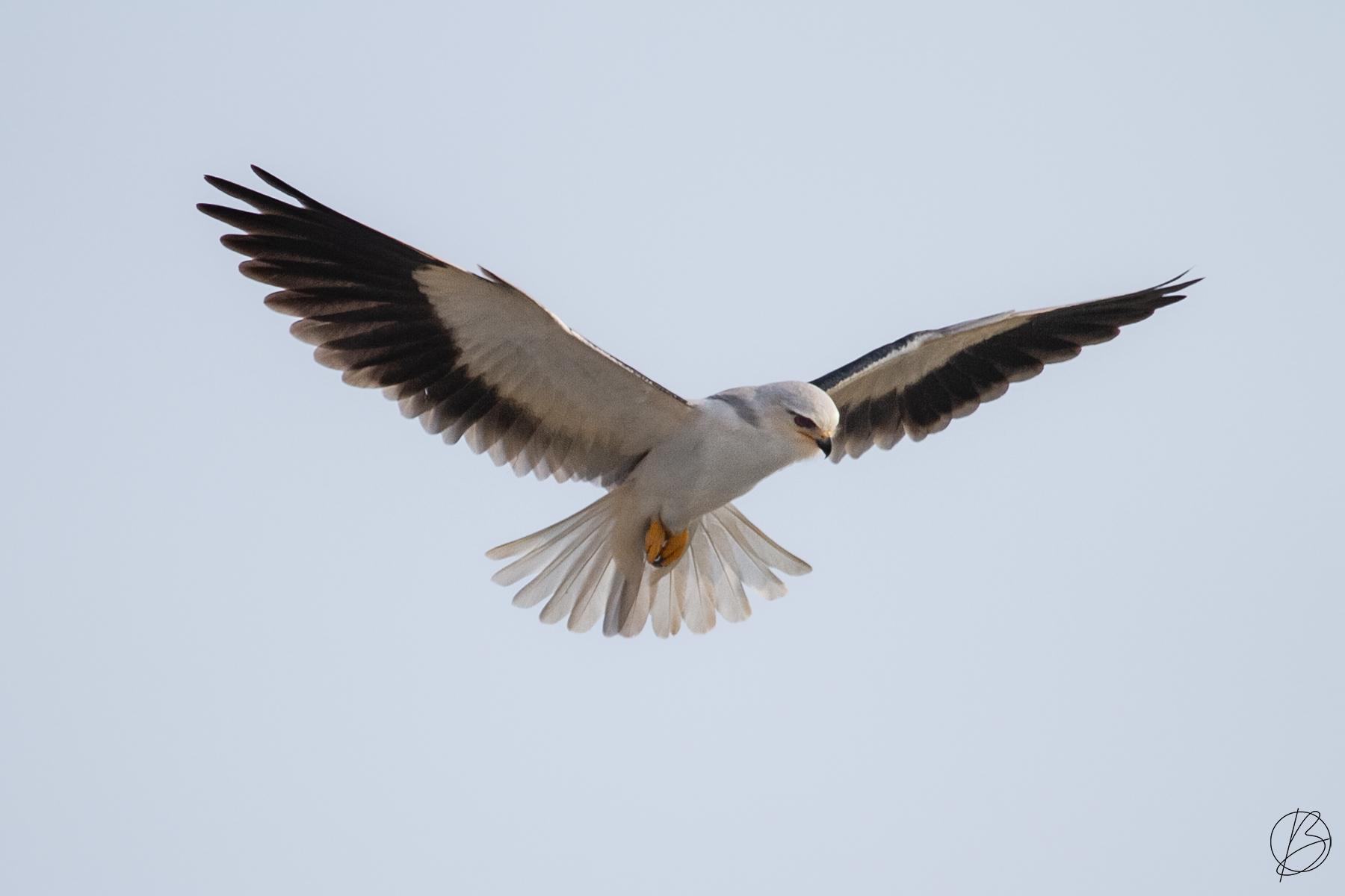 Black-Shouldered Kite hovering